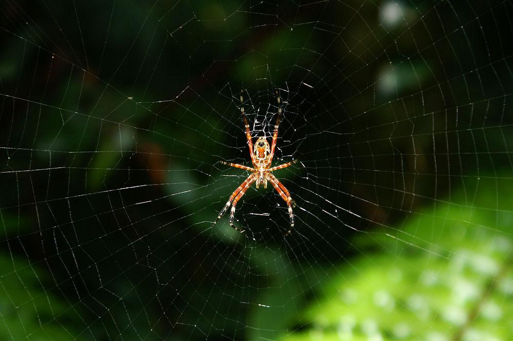 大崙頭尾079 妖豔蜘蛛