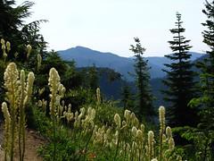 Beargrass abounds