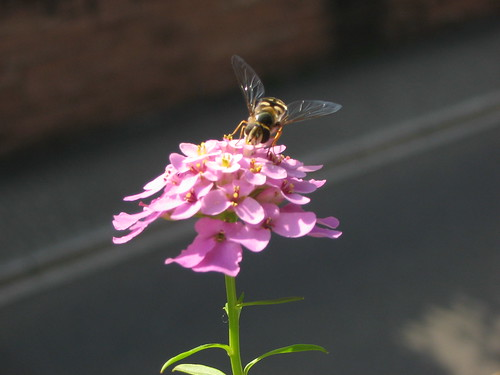 Window box flower and big-winged bee