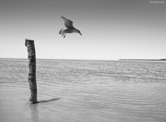 Flying Into the Unknown (Ben Heine) Tags: light wallpaper sky blackandwhite bw seascape bird art nature composition photomanipulation print freedom fly jump wings log highresolution brittany scenery waves dinosaur nikond70 seagull deep fresh ciel libert harmony instant sight breathe capture copyrights vagues normandy weave oiseau mouette ecosystem waterscape sauter buche ailes voler ondes workofart petersquinn benheine hubertlebizay flickrunitedaward flyingintotheunknown infotheartisterycom