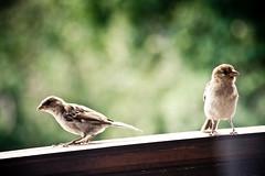 Second Second (Pascal Hertleif) Tags: bird birds animal balcony balkon vögel tier vogel 55200mm vgel