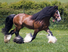 "Tom Price Stallions - ""Thomas' Bay Stallion"" (Dog Is Love) Tags: uk england horse wales cob stallion equine equus tinker romany gypsyvanner gypsyhorse gypsycob tomprice thomasbaystallion"