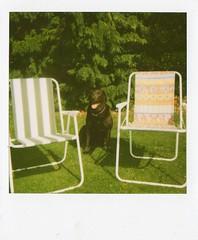 pooch (caraa) Tags: trees summer dog sun grass garden polaroid deckchairs chocolatelabrador