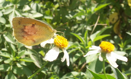 Sleepy Orange Sulphur 2