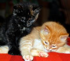 siblings (ankakay) Tags: orange black cute cat furry nikon feline sweet tabby adorable fluffy kittens siblings nikkor 50mmf18d notmycat niftyfifty d80 nikond80