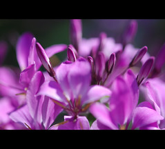 Cleome (~Jeannine~) Tags: flowers flower oa cleome mimamorflowers