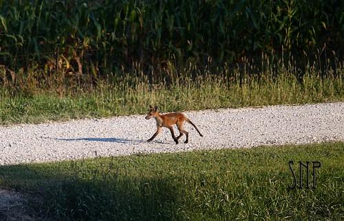 . foxy .