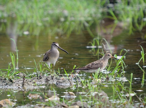dowitcher and pecsand