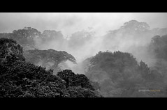 What lays beyond the fog? (Armando Maynez) Tags: voyage travel trees vacation blackandwhite bw tree byn blancoynegro fog clouds arbol cool nikon rainforest arboles selva bosque jungle nubes tropical layer layers uncool traveling nikkor neblina armando 18200 vacaciones niebla d90 nuboso 18200vr cywinner maynez uncool2 uncool3 uncool5 uncool6 uncool7 nikond90bw uncool4forakamsmissedtag