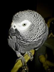 Pako (-Francesco Giunta-) Tags: art photoshop canon raw parrot powershot views cs4 cameraraw pako canonpowershots5is s5is exploreit