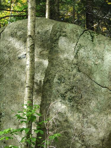 white birch and boulder
