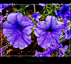 # 432 Explore!!!  Happy Thursday Flower  Desejo aos Meus Amigos Uma Belissima Quinta Flower!!!! ( Photography Janaina Oshiro ) Tags: flower macro nature japan digital natureza flor explore violeta nikond90 natureselegantshots janainaoshiro
