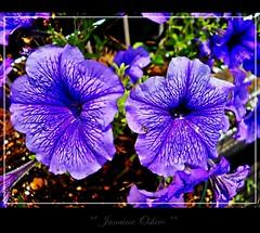 # 432 Explore!!! ღ Happy Thursday Flower ღ Desejo aos Meus Amigos Uma Belissima Quinta Flower!!!! (♫ Photography Janaina Oshiro ♫) Tags: flower macro nature japan digital natureza flor explore violeta nikond90 natureselegantshots janainaoshiro