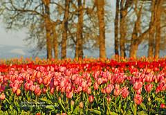 Oaks & Tulips (Gary Grossman) Tags: pink flowers trees red oregon spring oak tulips valley tulip april willamette oaktrees whiteoaks valleyoaks colorphotoaward garygrossman garygrossmanphotography
