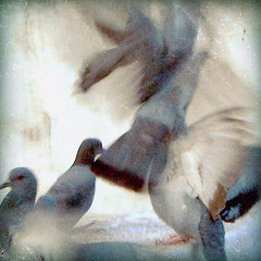 movement ver [2] (Studiofunc.) Tags: white texture birds four movement play five pigeon feathers