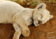 White Lion Dreams (Martin_Heigan) Tags: camera sleeping wild white nature digital cat southafrica cub big klein nikon nap martin leo sleep wildlife lion dream photograph dreams slaap d200 dslr droom panthera suidafrika 60mmf28micro nikonstunninggallery heigan leeu welpie mhsetwildlife 25october2009