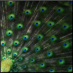 Les Yeux Ouverts (Mr sAg) Tags: green bird fan interestingness interesting eyes nikon feathers peacock explore warwick sag warwickshire warwickcastle peacockgarden explored fannedout mrsag cctvplacebo