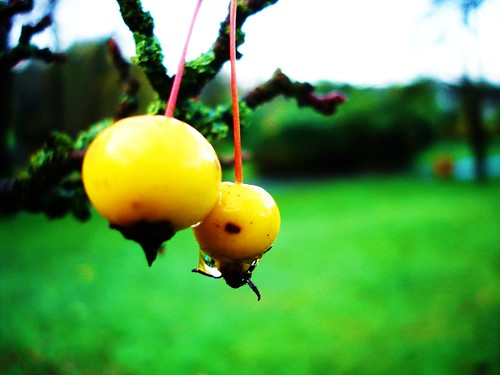 malus (golden hornet?)