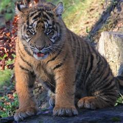 6 Month Old Cub (Gary Wilson  ) Tags: ireland nature animal canon eos cub wildlife tiger bigcat 7d sumatrantiger panther tigris sumatran tigercub dublinzoo 100400l emaswanita