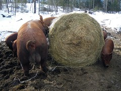 New bale to the pigs