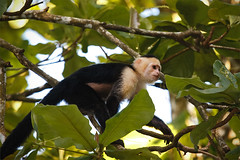 white-faced capuchin monkey in Corcovado National Park - Costa Rica (Phil Marion (177 million views - THANKS)) Tags: travel philmarion philippemarion explore phil marion canon5diii 5d3 canon toronto canada candid architecture street portrait landscape wildlife nature bird urban flowers macro insect longexposure ontario skyline cityscape home sky water outside beach dog old indoors sunrise sunset dusk fun shadows hdr snow art model feet night photo shutter happy film focus smiling jpeg notsony notnikon