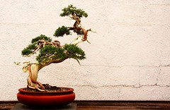 Ijirimawasu (Photographs by R. Samayoa) Tags: wood tree table washingtondc wooden districtofcolumbia arboretum pot tanuki bonsai plank twisted planks knarly exposed potted knarl usnationalarboretum bankan