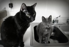 Sink Series #354.... (Star Cat) Tags: rescue cat feline sink homeless tink gato shelter animalshelter hokafi piratewillie