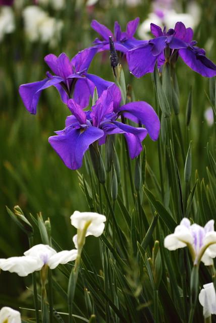 Iris, Edo Style