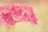 { Ortensia  } (B@rbar@ (Barbara Palmisano)) Tags: pink flowers light flower macro texture nature colors petals soft pastel rosa natura 60mm nikkor fiore petali colori ortensia pastello natula httpbarbaraphotographyblogspotcom