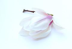 The Majestic ones (Pixel_peeper) Tags: flower nature whiteflower spring pale magnolia blossum magnoliaceae macromondays pierremagnol vision:outdoor=091