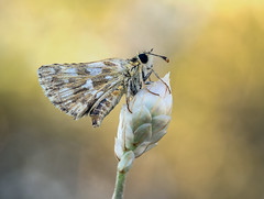 (Marco Díaz Cádiz) Tags: bokeh butterfly bug flor flowers focusstacking nature ngc naturaleza macronature macro mariposas macrofotografia macromondays macrodreams mundomacro apilado papallona spain y