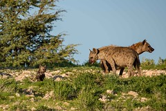 Spotted Hyena & Cubs (fascinationwildlife) Tags: animal mammal spotted hyena hyäne tüpfelhyäne predator wild wildlife nature natur national summer südafrika south africa cub young family den kalahari kgalagadi desert transfrontier safari