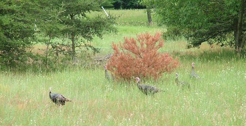 wild turkeys3