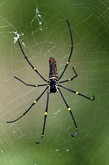 A golden orb-web spider.