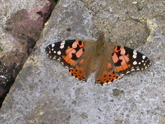 13_07_09_paintedlady (Fake-Faux) Tags: butterfly e17 paintedlady