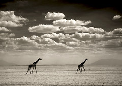 Two giraffes in Amboseli National Park - Kenya (Eric Lafforgue) Tags: africa wild sky cloud game animal sepia desert kenya culture tribal safari explore tribes afrika giraffe tradition tribe ethnic kenia tribo girafe afrique ethnology tribu eastafrica qunia 7816 lafforgue ethnie  qunia    kea    a