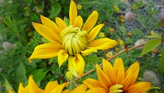 Really Shy (photo fiddler) Tags: flower blossom july shy rudbeckia nottobeusedwithoutmypermission