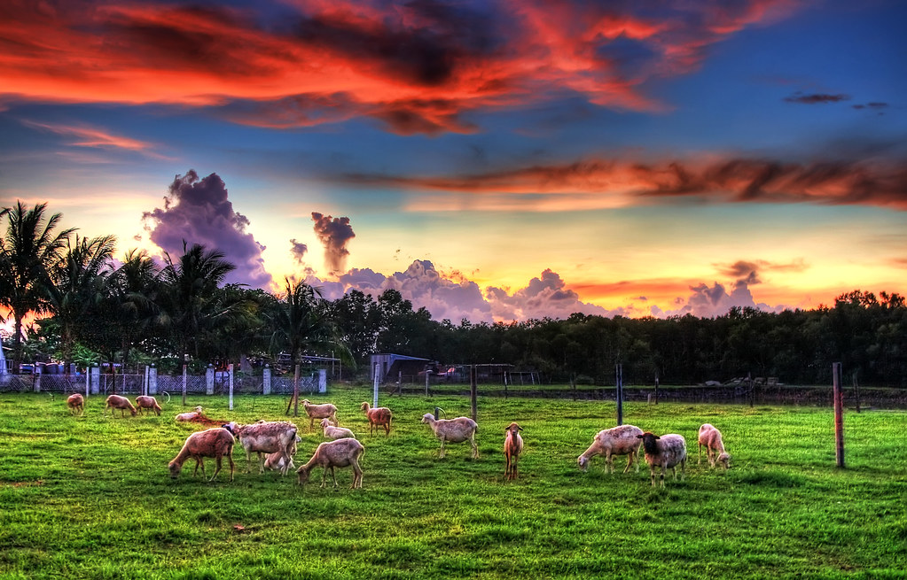 Lambs and Sunset