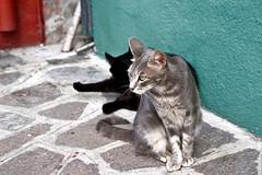 Burano Cats