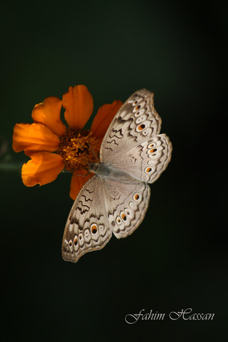 Butterfly (Grey Pansy)
