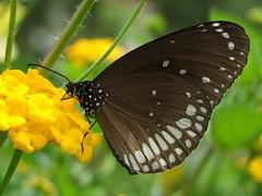 Butterfly - Common Indian Crow (lynnbarretomiranda) Tags: flowers india flower macro nature butterfly insect fuji goa butterflies lynn finepix miranda barreto margao butterflyindia commonindiancrow fujifinepixs100fs lynnbarretomiranda