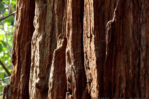 cedar bark - _MG_4388