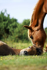 Sleeping Beauty (lee.45) Tags: horse canon landscape foal thenewforest 400d canon400d