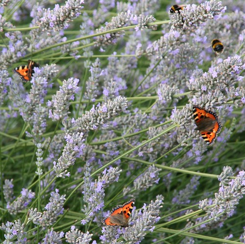 Lavender Visitors