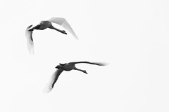 As time flies by (Kirsten M Lentoft) Tags: bw white holland netherlands birds flying swans waterfowl onwhite waterbirds fineartphotos avianexcellence natureselegantshots kirstenmlentoft