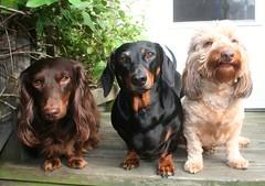 The Crew (Tobyotter) Tags: dog chien frank hound canine dachshund perro hund link wienerdog dackel teckel k9 jimmydean doxie sausagedog aplaceforportraits pointyfaceddog