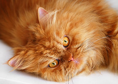 Garfi-Heyyy!!! (E.L.A) Tags: family portrait pet pets cute eye love beautiful face animal animals horizontal closeup cat fur fun nose happy photography persian healthy eyes furry friend kitten feline day close friendship sweet expression character watching adorable kitty posing fluffy ears kittens nobody nopeople attitude tired whisker innocence friendly positive resting satisfaction lovely charming relaxation lying domesticanimals garfield playful domesticlife laziness domesticcat gettyimages stockimages frontview contemplation catface facialexpression garfi oneanimal colorimage lookingatcamera animaleye animalhead animalnose animalthemes animalmouth differentcatbreeds