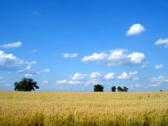 Blue Skies and Golden Fields of Harvest (Clara Hinton) Tags: nature clouds bluesky crops farmer harvesttime goldenfields magicshots clarahinton