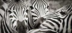 Assemblage de zèbres (orang_asli) Tags: africa nature animals southafrica mammal nationalpark champs zebra fields imfolozi lieux afrique mammifère aficionados faune bushveld naturel zèbre afriquedusud savane parcnational géographie gographie zbre mammifre