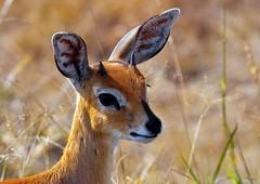 Steenbok (Arno Meintjes Wildlife) Tags: africa park camp wallpaper nature animal southafrica mammal bush wildlife safari mammals rsa krugernationalpark kruger steenbok parkstock specanimal arnomeintjes bfgreatesthits flickrunitedaward